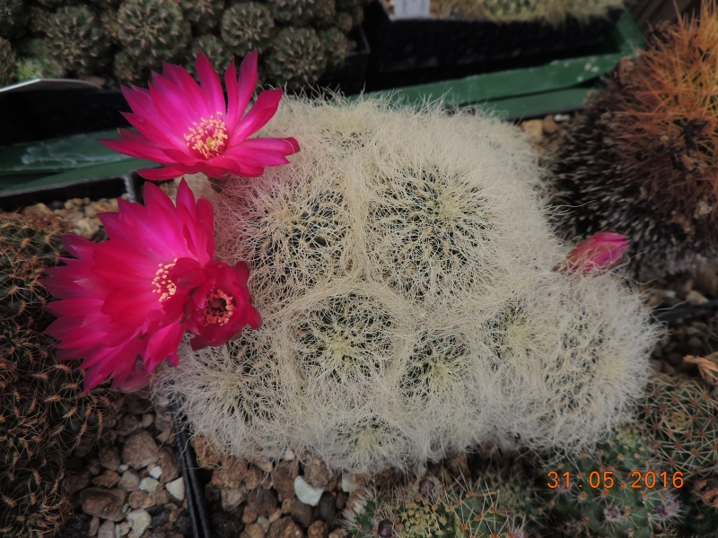 Cacti and Sukkulent in Köln, every day new flowers in the greenhouse Part 145 Bild_165