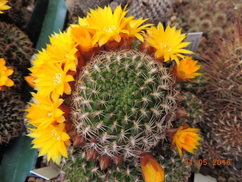 Cacti and Sukkulent in Köln, every day new flowers in the greenhouse Part 145 Bild_167