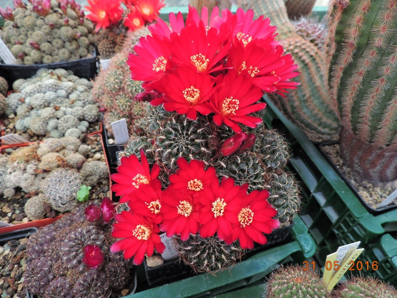 Cacti and Sukkulent in Köln, every day new flowers in the greenhouse Part 145 Bild_168