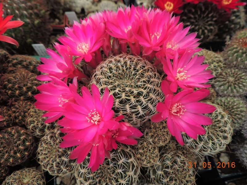 Cacti and Sukkulent in Köln, every day new flowers in the greenhouse Part 145 Bild_169