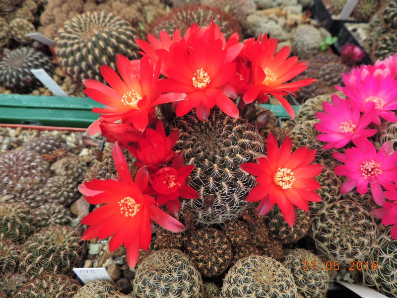 Cacti and Sukkulent in Köln, every day new flowers in the greenhouse Part 145 Bild_170