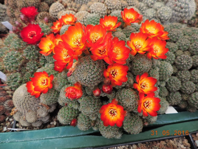 Cacti and Sukkulent in Köln, every day new flowers in the greenhouse Part 145 Bild_171