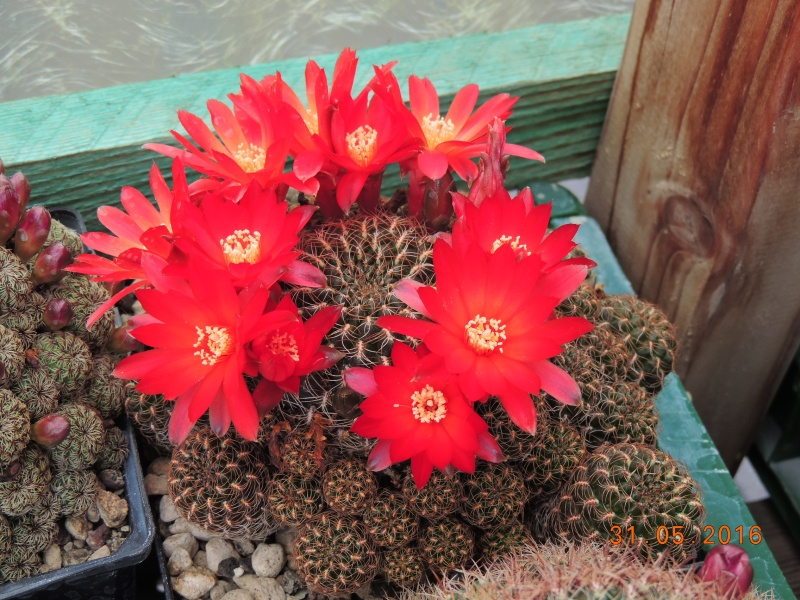 Cacti and Sukkulent in Köln, every day new flowers in the greenhouse Part 145 Bild_174