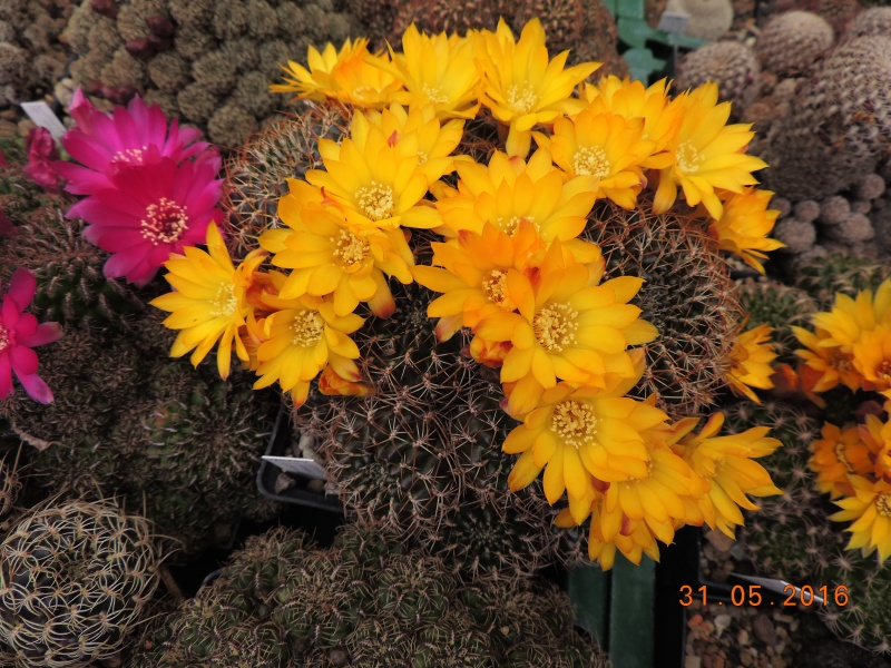 Cacti and Sukkulent in Köln, every day new flowers in the greenhouse Part 145 Bild_175