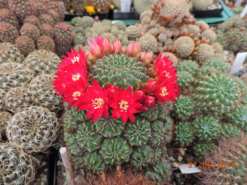 Cacti and Sukkulent in Köln, every day new flowers in the greenhouse Part 145 Bild_176