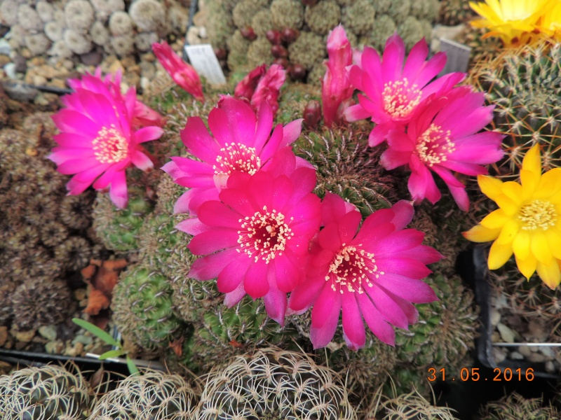 Cacti and Sukkulent in Köln, every day new flowers in the greenhouse Part 145 Bild_179