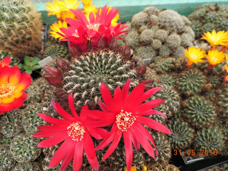 Cacti and Sukkulent in Köln, every day new flowers in the greenhouse Part 145 Bild_183