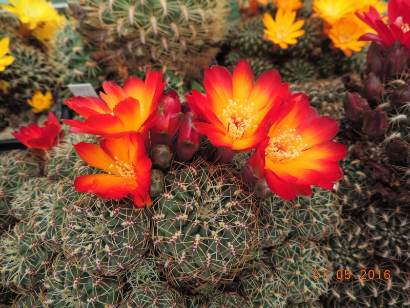 Cacti and Sukkulent in Köln, every day new flowers in the greenhouse Part 145 Bild_184