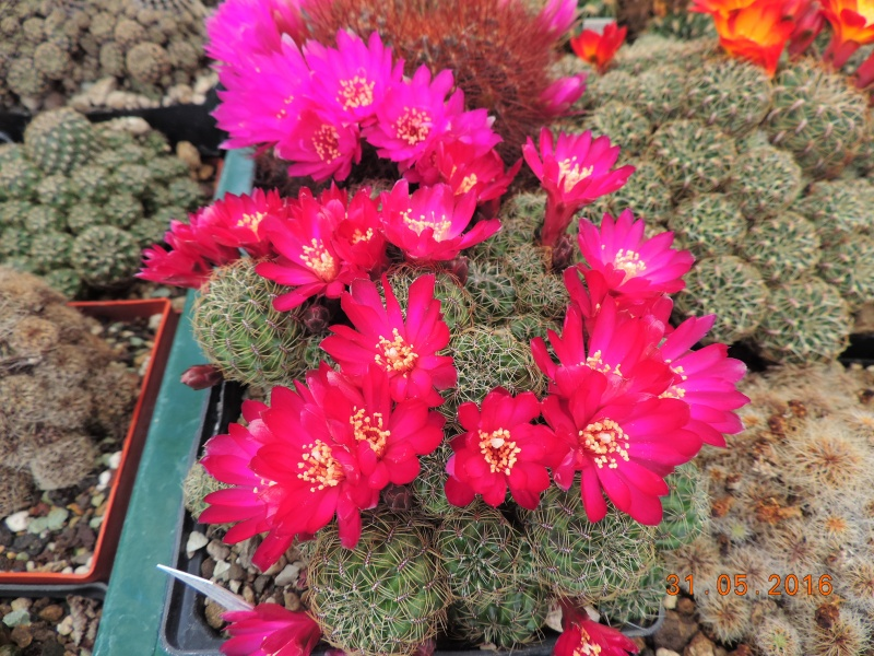 Cacti and Sukkulent in Köln, every day new flowers in the greenhouse Part 145 Bild_185