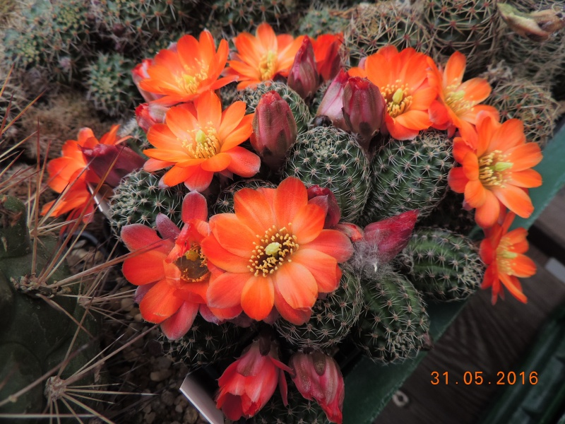 Cacti and Sukkulent in Köln, every day new flowers in the greenhouse Part 145 Bild_187