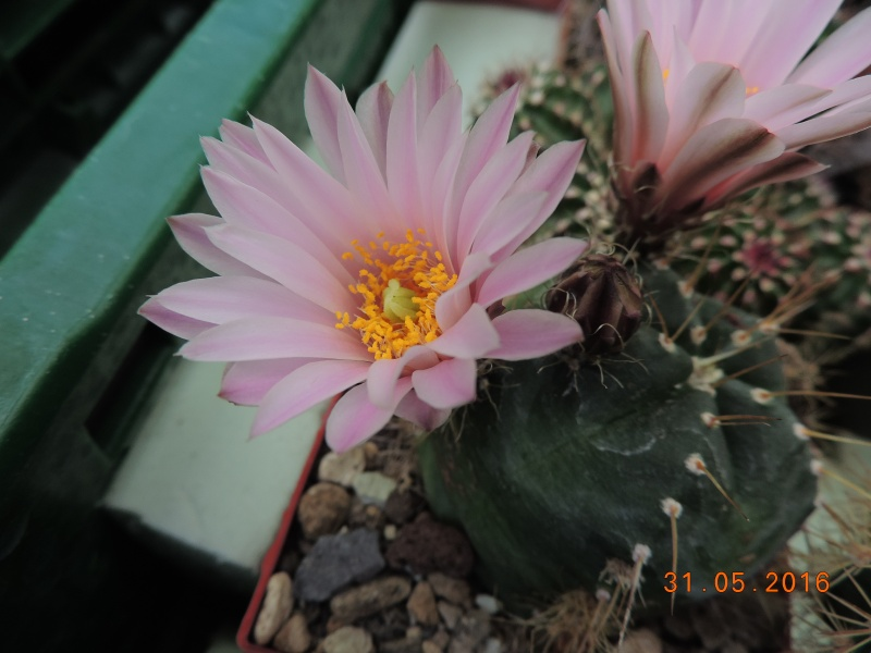 Cacti and Sukkulent in Köln, every day new flowers in the greenhouse Part 145 Bild_188