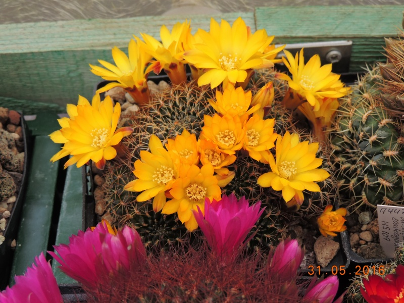 Cacti and Sukkulent in Köln, every day new flowers in the greenhouse Part 145 Bild_193