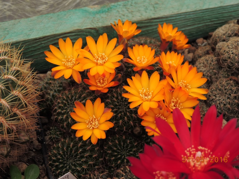 Cacti and Sukkulent in Köln, every day new flowers in the greenhouse Part 145 Bild_195