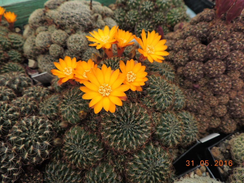Cacti and Sukkulent in Köln, every day new flowers in the greenhouse Part 145 Bild_196