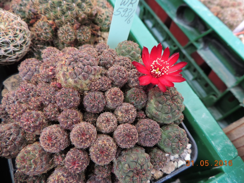 Cacti and Sukkulent in Köln, every day new flowers in the greenhouse Part 145 Bild_198