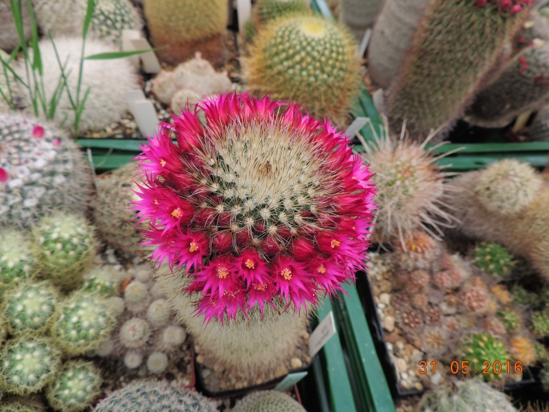 Cacti and Sukkulent in Köln, every day new flowers in the greenhouse Part 145 Bild_202