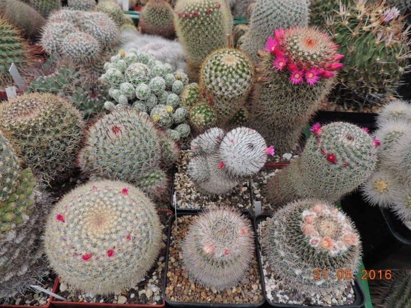 Cacti and Sukkulent in Köln, every day new flowers in the greenhouse Part 145 Bild_205