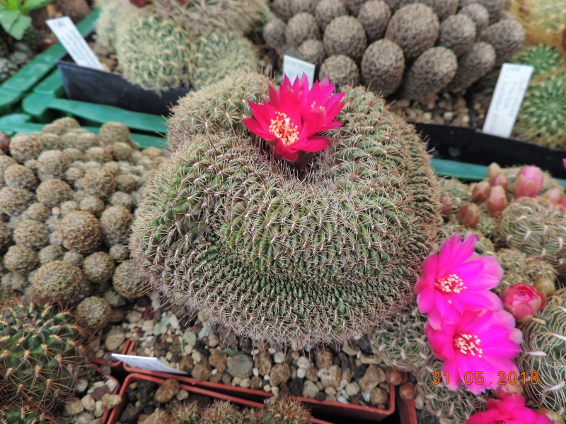 Cacti and Sukkulent in Köln, every day new flowers in the greenhouse Part 145 Bild_208