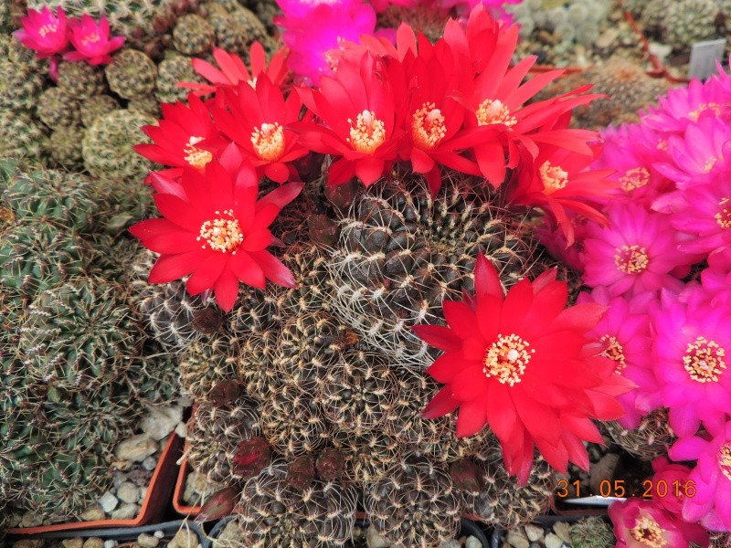 Cacti and Sukkulent in Köln, every day new flowers in the greenhouse Part 145 Bild_211