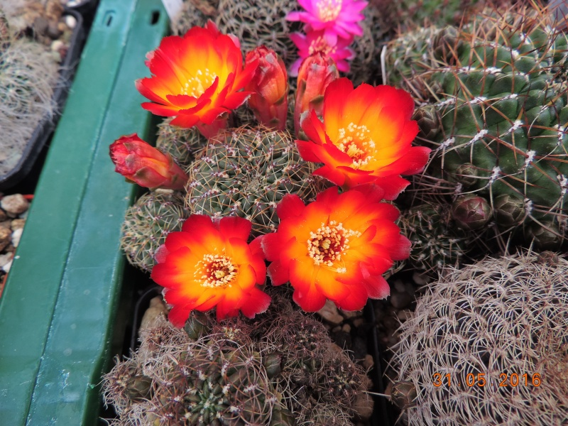 Cacti and Sukkulent in Köln, every day new flowers in the greenhouse Part 145 Bild_212