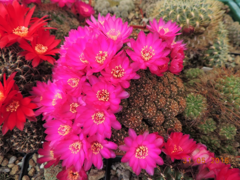 Cacti and Sukkulent in Köln, every day new flowers in the greenhouse Part 145 Bild_213