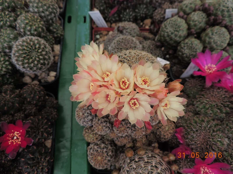 Cacti and Sukkulent in Köln, every day new flowers in the greenhouse Part 145 Bild_215