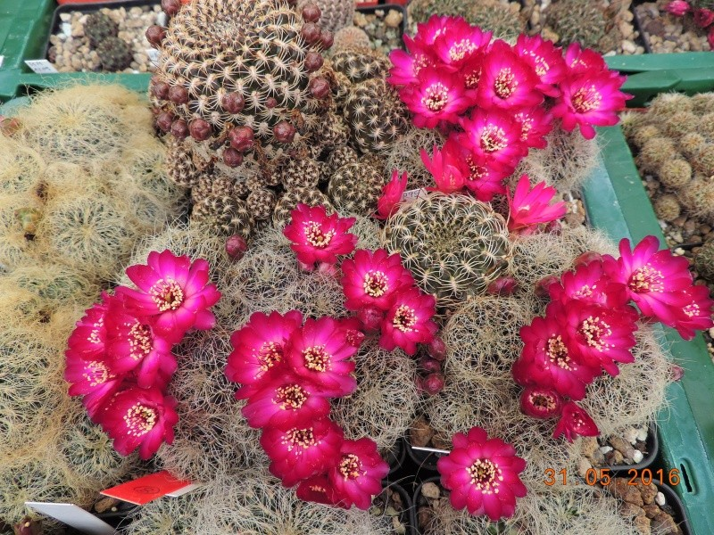 Cacti and Sukkulent in Köln, every day new flowers in the greenhouse Part 145 Bild_217