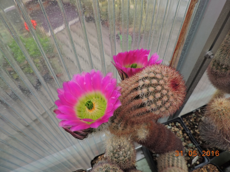 Cacti and Sukkulent in Köln, every day new flowers in the greenhouse Part 146 Bild_223