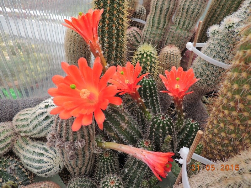 Cacti and Sukkulent in Köln, every day new flowers in the greenhouse Part 146 Bild_224