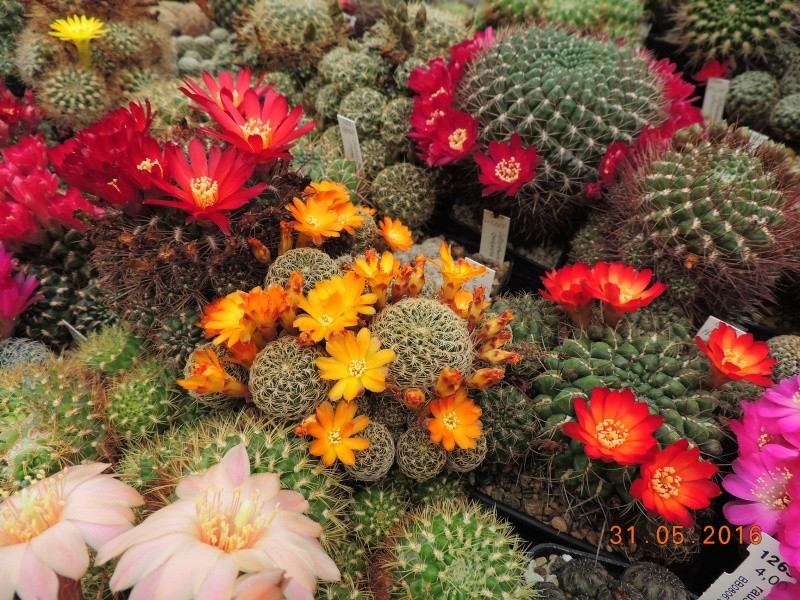 Cacti and Sukkulent in Köln, every day new flowers in the greenhouse Part 146 Bild_227