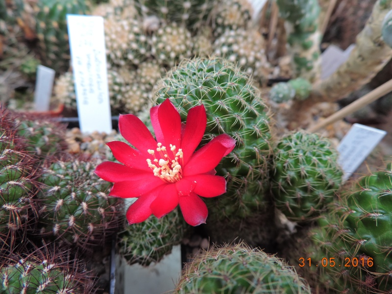 Cacti and Sukkulent in Köln, every day new flowers in the greenhouse Part 146 Bild_228