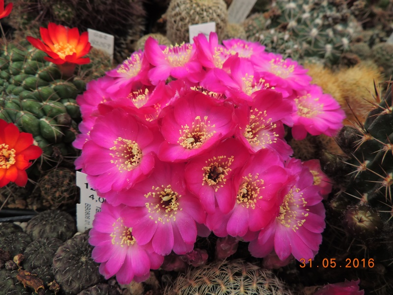 Cacti and Sukkulent in Köln, every day new flowers in the greenhouse Part 146 Bild_229