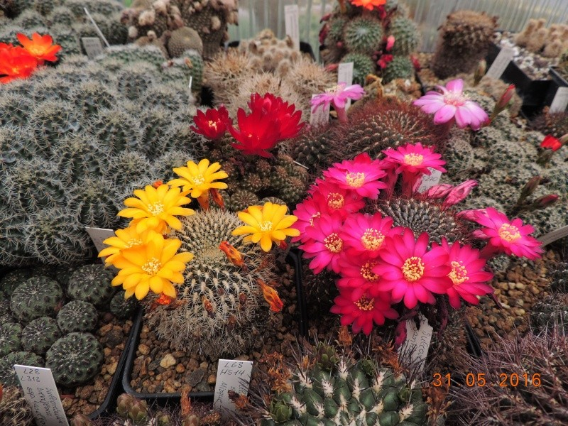 Cacti and Sukkulent in Köln, every day new flowers in the greenhouse Part 146 Bild_239
