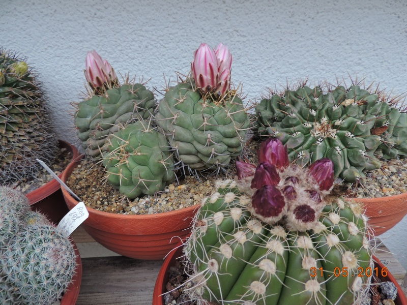 Cacti and Sukkulent in Köln, every day new flowers in the greenhouse Part 146 Bild_249