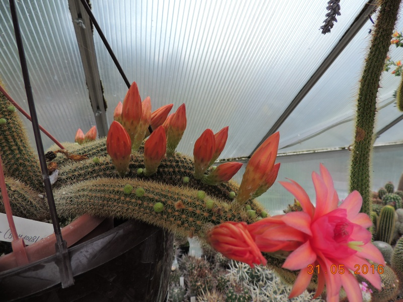 Cacti and Sukkulent in Köln, every day new flowers in the greenhouse Part 146 Bild_252