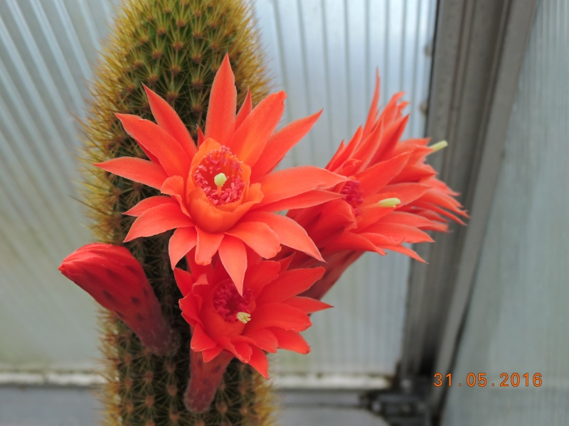 Cacti and Sukkulent in Köln, every day new flowers in the greenhouse Part 146 Bild_254