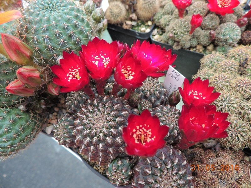 Cacti and Sukkulent in Köln, every day new flowers in the greenhouse Part 146 Bild_259