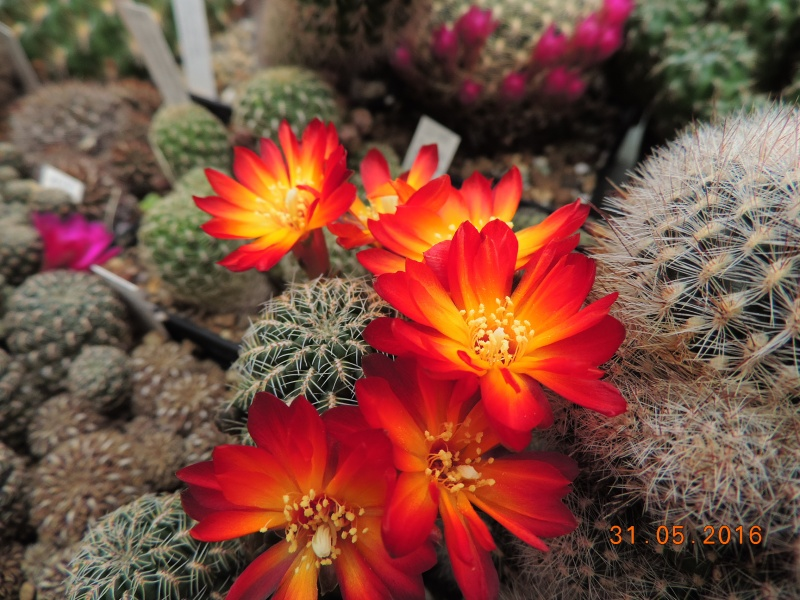 Cacti and Sukkulent in Köln, every day new flowers in the greenhouse Part 146 Bild_260