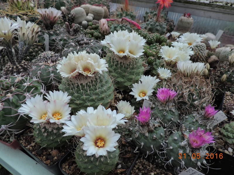 Cacti and Sukkulent in Köln, every day new flowers in the greenhouse Part 146 Bild_278