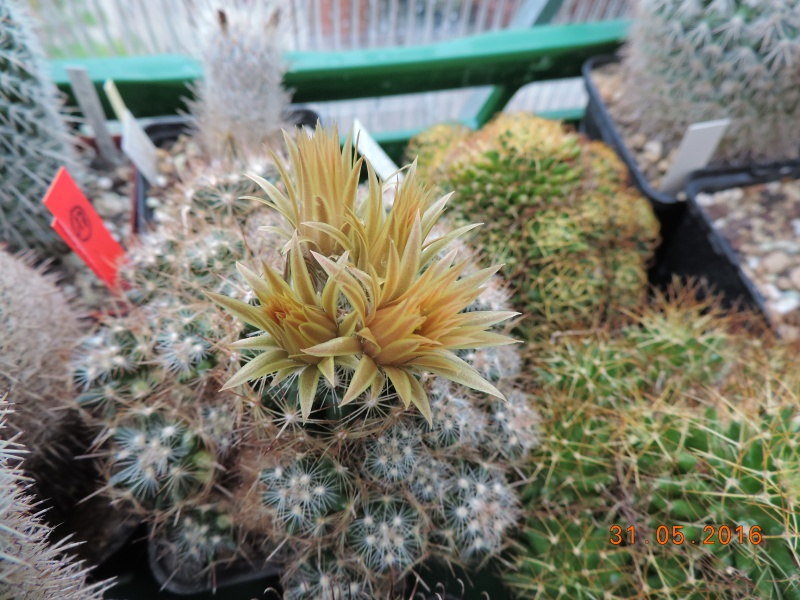 Cacti and Sukkulent in Köln, every day new flowers in the greenhouse Part 146 Bild_285