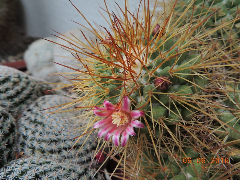 Cacti and Sukkulent in Köln, every day new flowers in the greenhouse Part 146 Bild_297