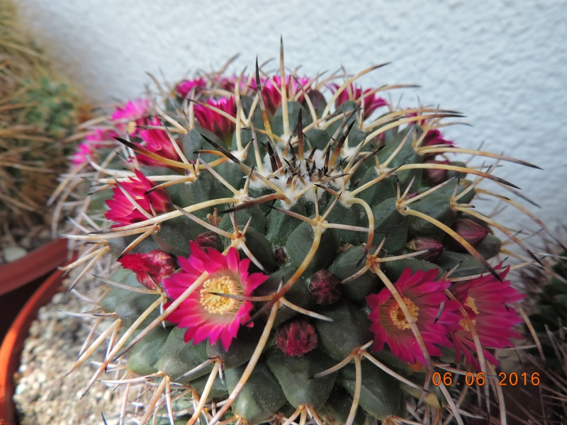 Cacti and Sukkulent in Köln, every day new flowers in the greenhouse Part 146 Bild_298