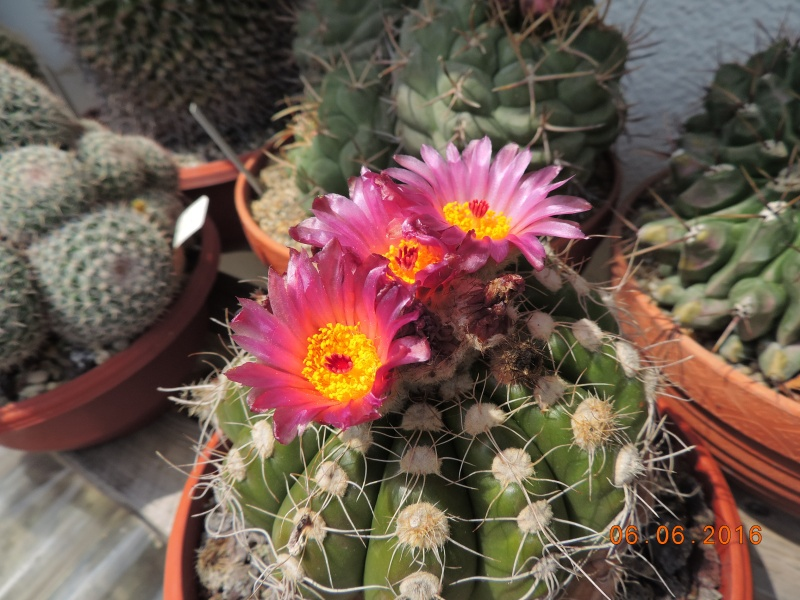 Cacti and Sukkulent in Köln, every day new flowers in the greenhouse Part 146 Bild_300