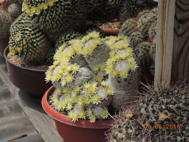 Cacti and Sukkulent in Köln, every day new flowers in the greenhouse Part 146 Bild_303