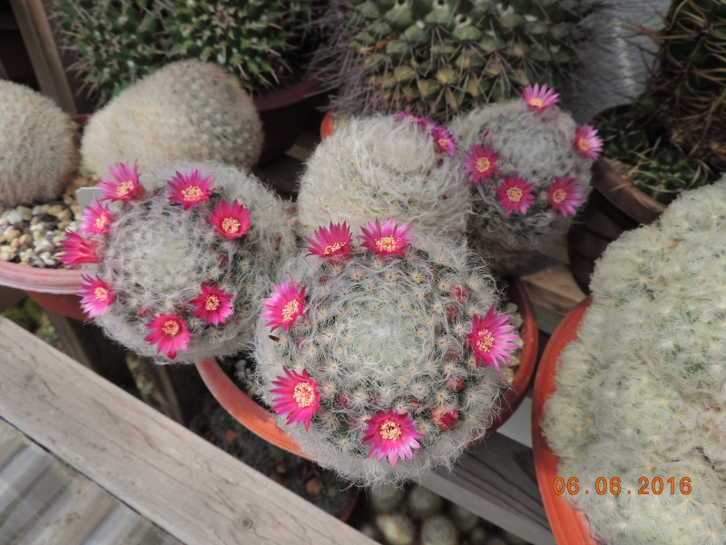 Cacti and Sukkulent in Köln, every day new flowers in the greenhouse Part 146 Bild_306