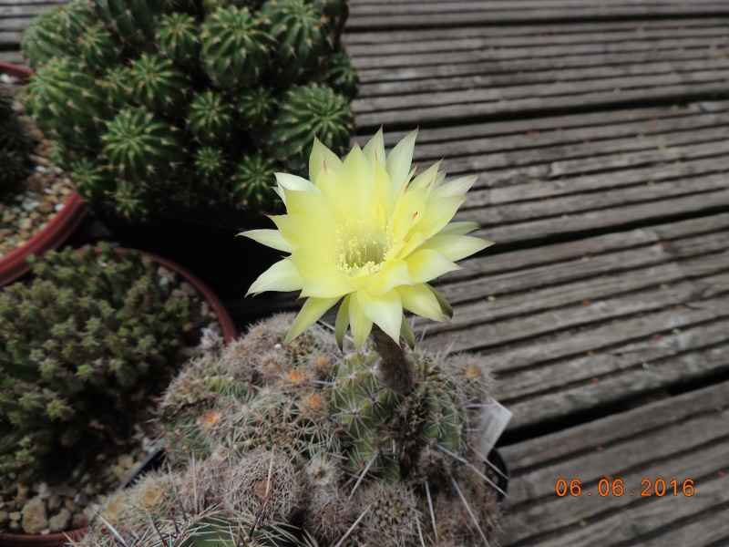 Cacti and Sukkulent in Köln, every day new flowers in the greenhouse Part 146 Bild_308