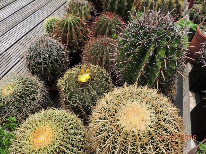 Cacti and Sukkulent in Köln, every day new flowers in the greenhouse Part 146 Bild_309