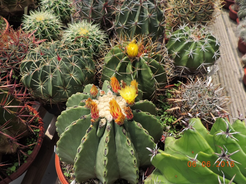 Cacti and Sukkulent in Köln, every day new flowers in the greenhouse Part 146 Bild_311