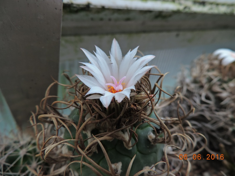 Cacti and Sukkulent in Köln, every day new flowers in the greenhouse Part 146 Bild_330