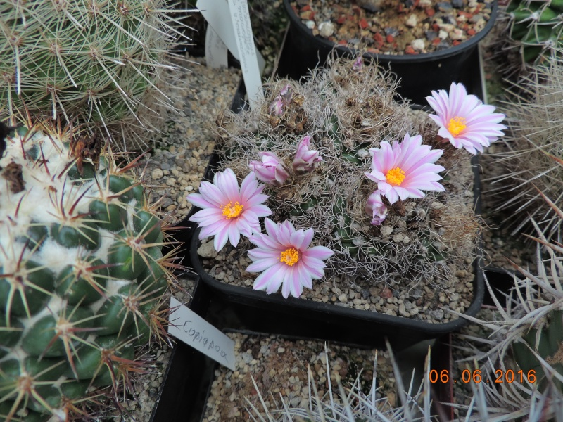 Cacti and Sukkulent in Köln, every day new flowers in the greenhouse Part 146 Bild_331